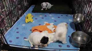 Coton de Tulear Puppies For Sale - Isha 5/28/21