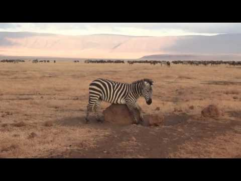 Funny zebra scratching its belly - Ngorongoro Crater