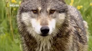 Животные мира Дикие волки Загадка природы Жертва Аляски Место событий Улики расправы След хищника