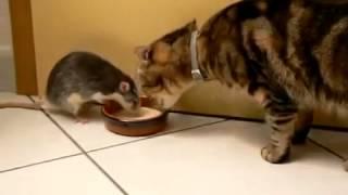 Жадная крыса