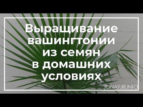 Выращивание вашингтонии из семян в домашних условиях | toNature.Info