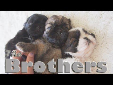 Meet the Brothers | Sleepyhead Shih Tzu Puppies