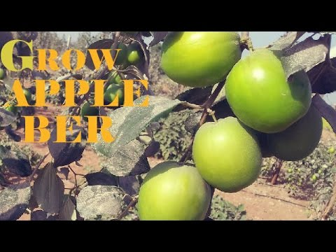 How To Grow Apple Ber or Jujube Fruit in Container