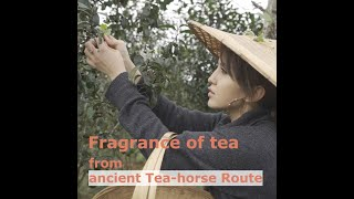 Fragrance of tea from ancient Tea-horse Route