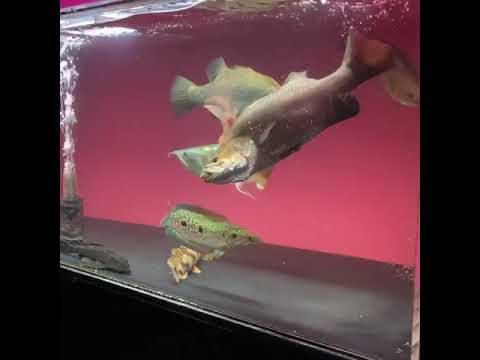 Monster Fish Eating Other Fish Live - #shorts 😮😮