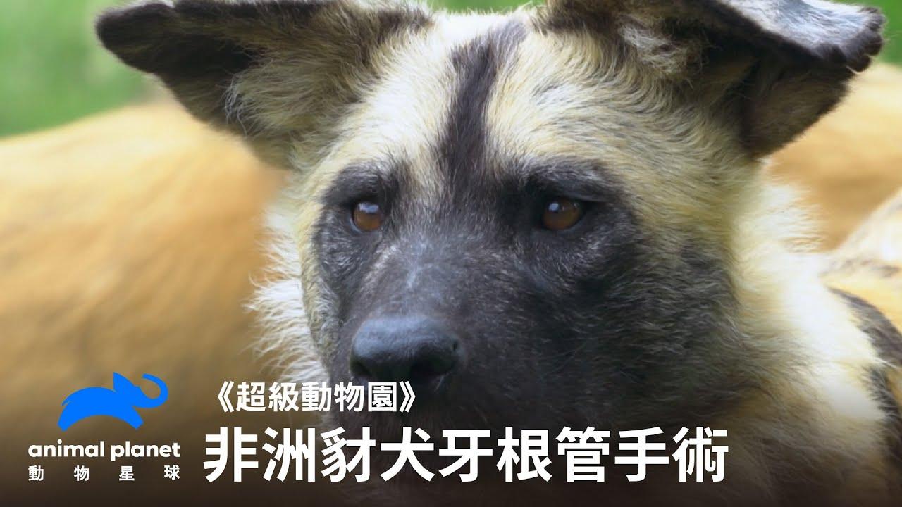 豺犬的牙根管手術,手術過程中失去心跳,獸醫緊急搶救! 動物星球頻道