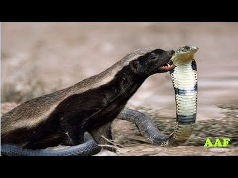 National Geographic Documentary - Snake fight with Honey Badger - wildlife animal