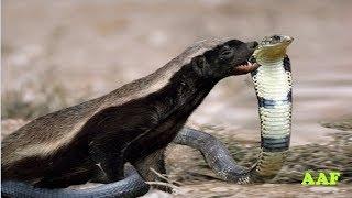 National Geographic Documentary - Snake fight with Honey Badger - wildlife animal