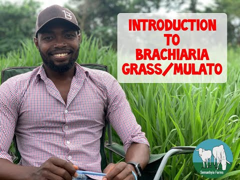 cattle-feed-in-ghana:-brachiaria/mulato-grass--introduction