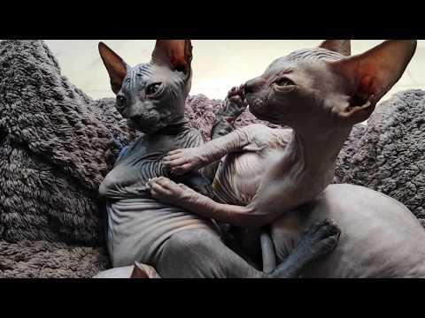 Very funny and joyful day for lovely sphynx kittens / DonSphynx /