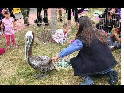 Virtual Photo Walks Morro & Solimar educational Brown Pelicans