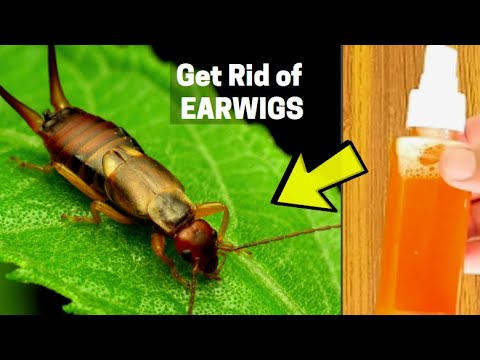 what attracts earwigs in the home