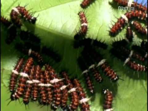 los-secretos-de-la-naturaleza---(-7-)---mariposas-,-las-supermodelos-del-mundo-animal
