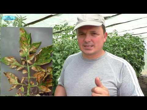 Растения кажутся больными? Не спешите их лечить!!!   скручивание   удобрения   обработка   элементы   растения   листовая   теплица   питания   томаты   своими