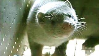 Farming Mink To Meet Market Demand