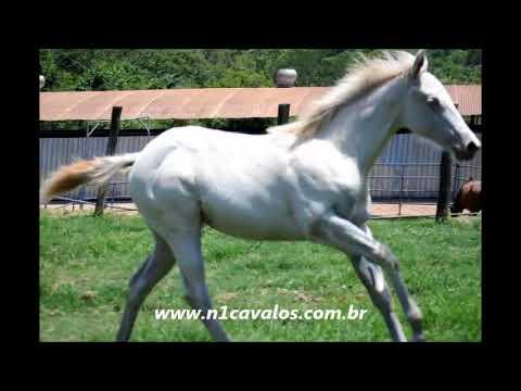 Clara Fisher Leo FHG Quarto de Milha a venda no N1 Cavalos - www.n1cavalos.com.br
