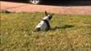 Phox loves hanging out in the front yard. Phox is an Toy American F...