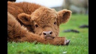 25 забавных фотографий коров, которые поднимут настроение