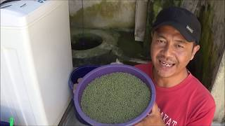 Cara Budidaya Kacang Hijau Sistem TOT Tanpa Olah Tanah Pada Lahan Sawah Setelah Panen Padi