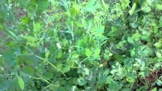 Rain Gutter Grow System Update July 29th 2011