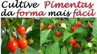 Como Cultivar Pimentas em Vasos da Forma Mais Fácil do Mundo