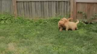 Baixar Puppies for Sale - CASEY / DECKER - Golden Retrievers