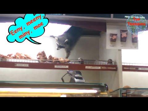 Raccoon Steals Cat Food Gangsta