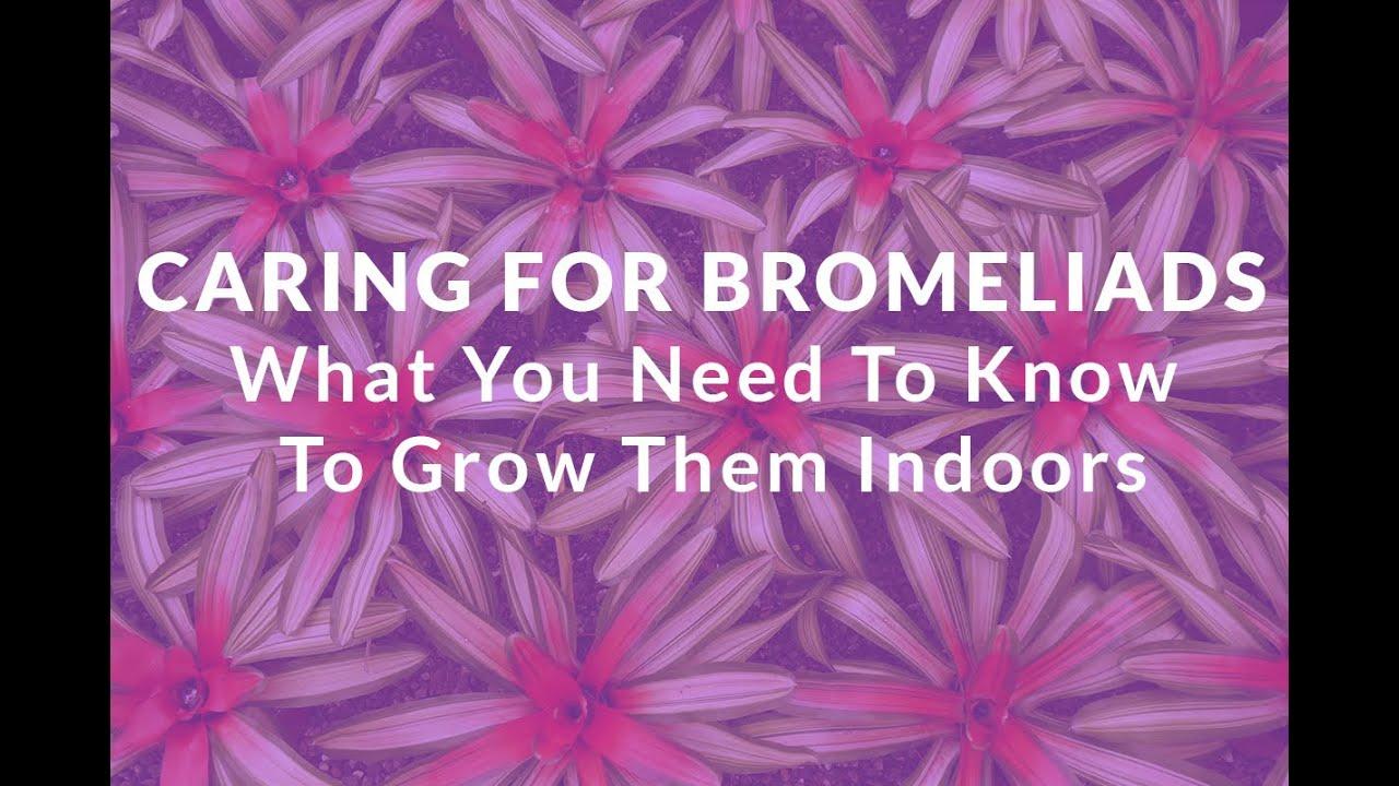 Bromelia. How to care