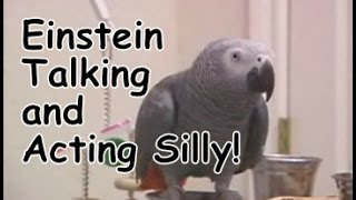 Einstein The Parrot Talking And Acting Silly.