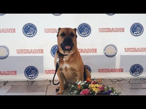 День на выставке с кане корсо Филей // Dog Show Day With Cane Corso Filya