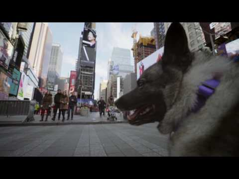 Westminster Dog Show: Norwegian Elkhound visits Times Square