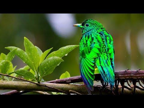 দামী অলংকার মোড়ানো পাখি পান্না কোকিল | Expensive Ornaments Emerald Cuckoo | Most Beautiful Bird