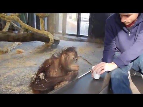A Must See - Orangutan Loves Magic Trick ! HD