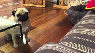 Funniest Video Of This Cute Pug Forgot How To Jump Must Watch It's Too Funny! 😝😄 @breezypug