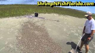 How To Catch Fiddler crabs, The Fiddler Crab Roundup Part 2 of 2