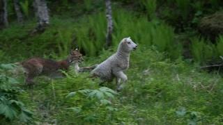 Vaşak Kedisi Saldırı Lynxes Cat  Attacks   2017