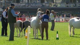 Merlod Mynydd Cymerig Caseg + ebol | Welsh Mountain Ponies Mare + Foal