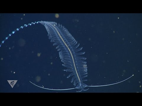Weird and wonderful deep-sea worms