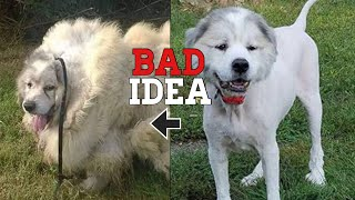 5 common mistakes beginner Great Pyrenees owners makes
