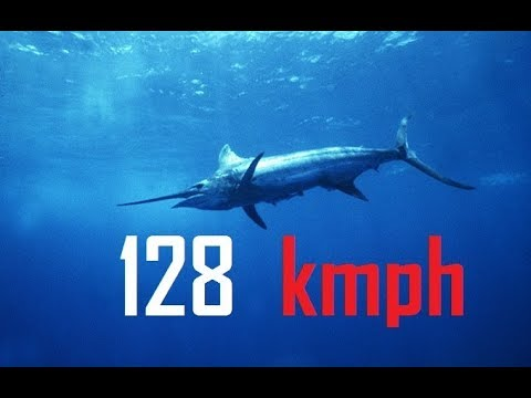 Black Marlin || Fastest Fish On The Planet