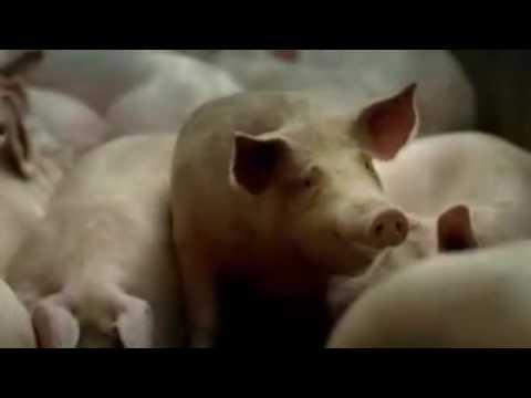 Канфеты из свиного жира!!!смотреть обезательно муслимам!!!