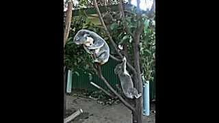 オーストラリアの動物園で偶然撮れたコアラの喧嘩です。 I shot a video...