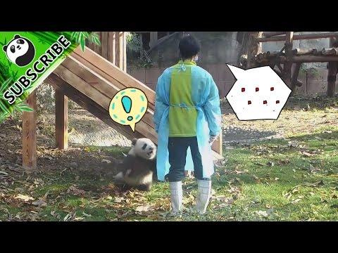 【Panda Top3】Panda cubs ask for kisses and hugs from nanny | iPanda
