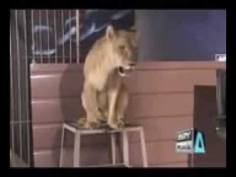 A Girl Accept Lion Dare In Waqar Zaka Show