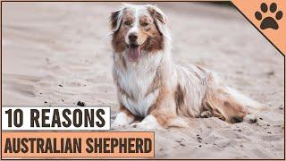10 Reasons Why You Should Get An Australian Shepherd   Dog World