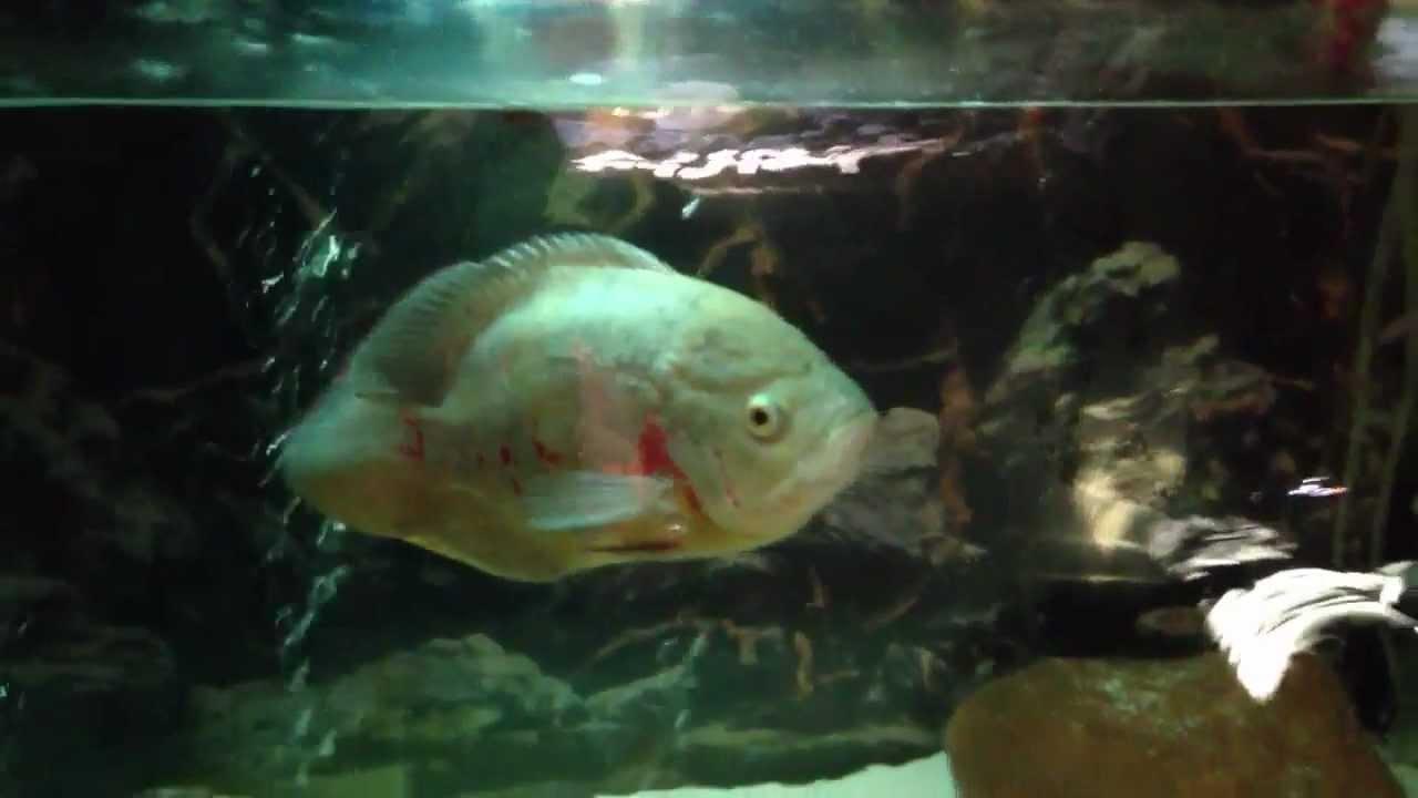 Giant oscar fish eats dog food youtube for Oscar fish food