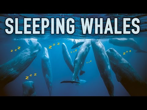 The Fascinating Way Sperm Whales Sleep