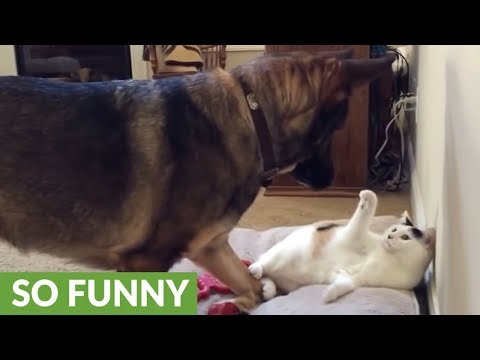 German Shepherd takes action after cat stole her bed again