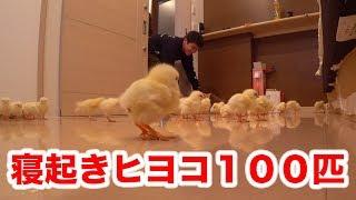 【ドッキリ】寝てる人の部屋にヒヨコ100匹を放してみた!! thumbnail