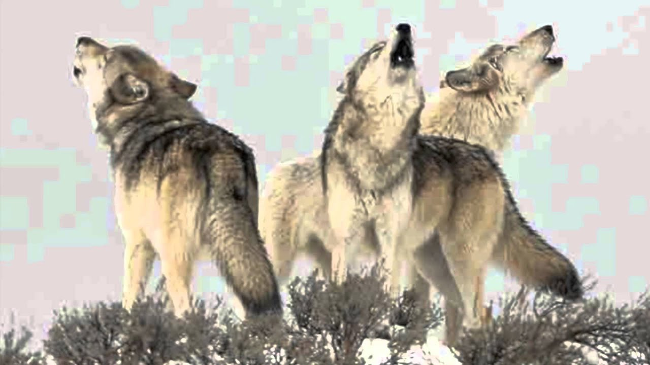 Wolf Pack Howling - Only Sound! Haunting, yet beautiful ...